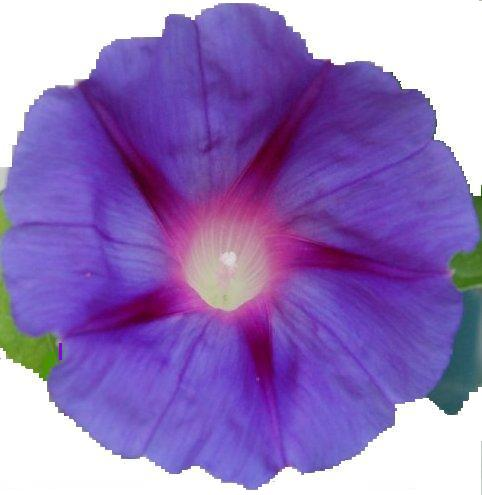 morning glory flowers used as bullets of list